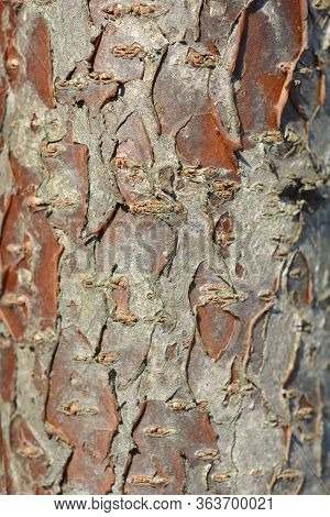 Staghorn Sumac Bark Detail - Latin Name - Rhus Typhina