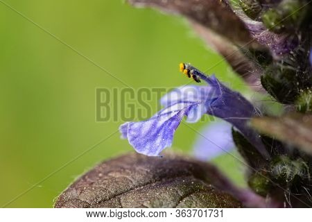 Closeup Of The Blossom Of A Bugleweed (ajuga Reptans, Lamiaceae) Growing In A Garden In Vienna (aust