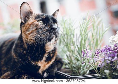 Close Up Of Tortoiseshell Cat. Tortoiseshell Cat Portrait. Close Up Of Tortoiseshell Cat In Garden.
