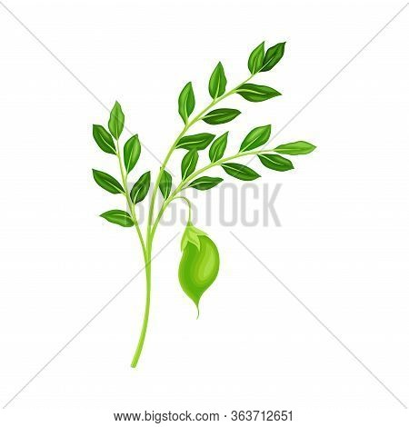 Green Pods Of Chickpea Hanging On Stem As Annual Legume Plant Vector Illustration