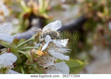 Tropinota Hirta Insect Is A Pest Of Fruits And Flowering Plants Which Destroys By Feeding On Flower