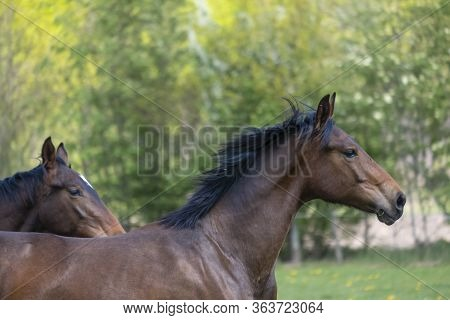 A Head Of Stallion Horses, At A Sunny Day. Galloping Dressage Horse Stallions In A Meadow. Breeding