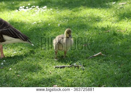 Daughter Of Big Mallard Tries And Learn Walks Around Mother. Yellow Colored Feathers. Small Dabbling