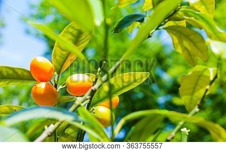 Summer background. Fortunella margarita kumquats, cumquats foliage and orange fruits on kumquat summer tree