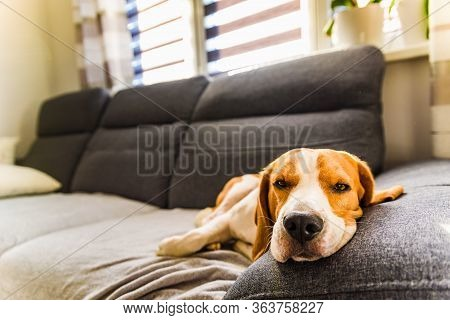 Sleeping Beagle Dog On Sofa. Lazy Day On Couch. Dog Background