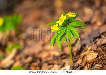 The Yellow Anemone, Anemone Ranunculoides Latin Name. Flower On Blurred Background In Forest.