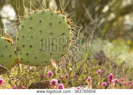 Close Up Of Purple Owl's Clover With A Pickily Pear Cactus