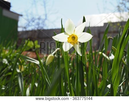 The Beauty Of Wild Narcissus. Narcissus Poeticus Was One Of The First Daffodils To Be Cultivated, An