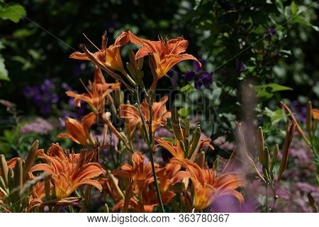 Day Lily Is A Perennial Flower. Most Species Of Lilies Open In Early Morning And Wither During The F