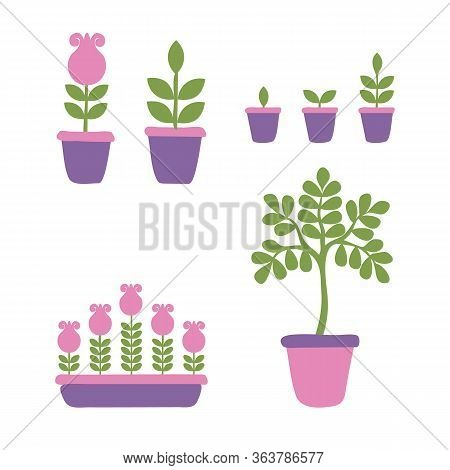 Set Of Phases Of The Life Cycle Of Home Flowers And Potted Plants. Growth Stages Seedling. Ripening