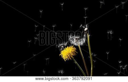 Dandelions On A Black Background. Yellow Flowering Dandelion. The Wind Blows Dandelion Seeds. Close-