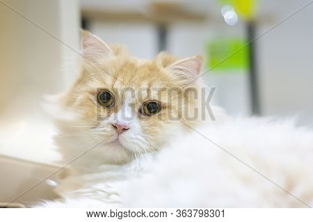 Portrait Of A White And Tabby Colored Pure Bred Persian Cat