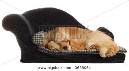 Cocker Spaniel In Dog Bed