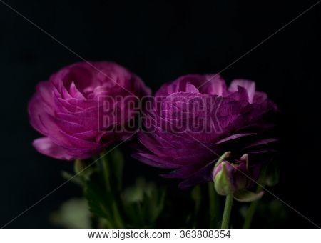 Beautiful Purple Ranunculuses Flowers Close Up On Dark Background. Ranunculus Cultivation.