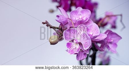 Purple flowers Phalaenopsis on a white background. Natural Orchid