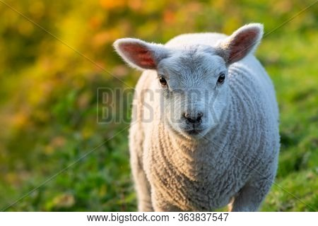 Herd Of Lamb Feeding On Ranch Grass Farm Cattle Animal Selective Focus Blur