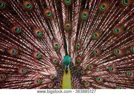 Male Peafowl Or Peacock Showing Its Colorful Majestic Tail