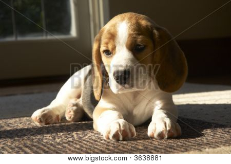 Puppy060 Copy