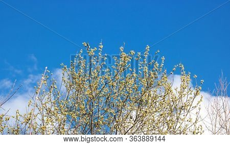 Amazing Flowering Pussy Willow Branches Close Up. Blooming Willow And Blue Sky On Background. Easter