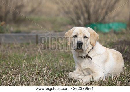 Portrait Of Yellow Labrador Retriever Dog Lying Calmly On Dry Grass Outdoors, Having Rest. Copy Spac