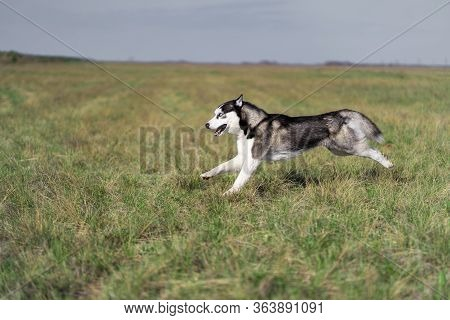 A Black-and-white Dog Of The Siberian Husky Breed Walks On A Green Field