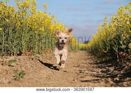 Beautiful Small Havanese Dog Have Fun And Running In A Beautiful Yellow Rape Seed Field