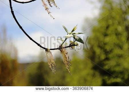 Young Shoots Of Green Leaves Of Aspen Trees, Selective Focus. Aspen Leaves Against The Forest And Bl
