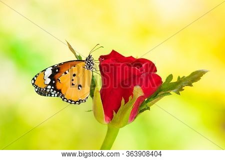 A Butterfly On A Red Rose , On A Green Background