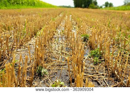 Wheat Field After Harvesting By Combine. Clipped Wheat. Wheat Harvest Season.