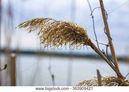 Spikelet Of Cattail (reed) Near The Lake Close-up. Blurred Lake And Blue Sky On Background. Eurasian
