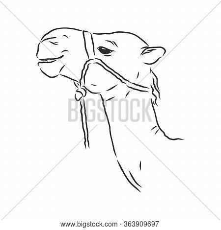Portrait Of A Camel, Head Of A Camel, Vector Sketch Illustration