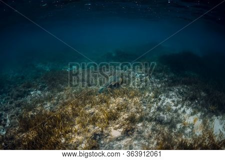 Stingray Glides Over Seaweed In Blue Ocean