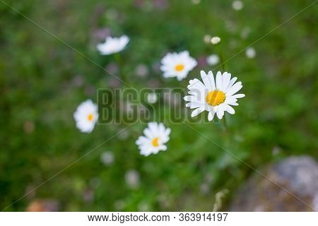 Green Grass And Chamomiles In The Nature.chamomile Garden. White Flowers Of Chamomile Daisy. Chamomi