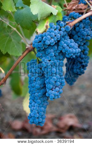 Blue wine Grape clusters on Vine