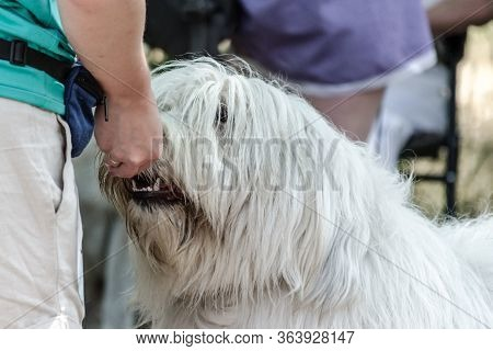 Dainty Promotion Of A Large White Shaggy South Russian Shepherd Dog