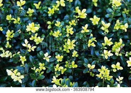 Ilex crenata 'Kinmetuge' (Japanese holly or box-leaved holly; Japanese: inutsuge) . Small golden yellow leaves coming out in spring whichi is it's trademark.Evergreen shrub or small tree often used an