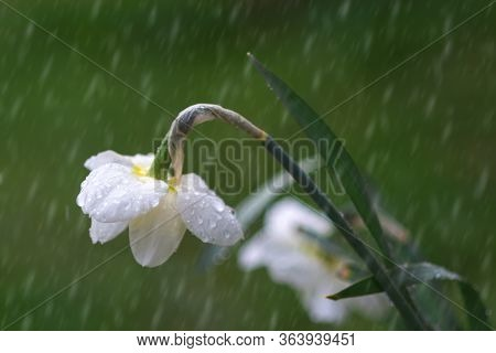 Small Tender Yellow Tulip Flowers Bowed Under Raindrops