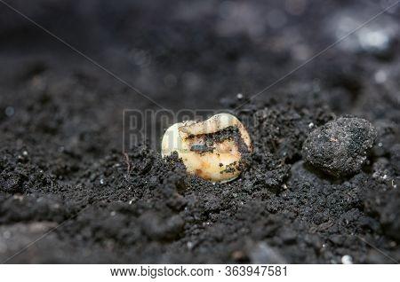 Close Up Of Corn Germination On Fertile Soil