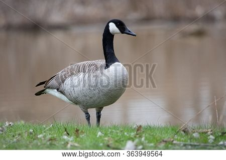 Wildlife Birds Canadian Canada Goose Standing Waters Edge Afternoon