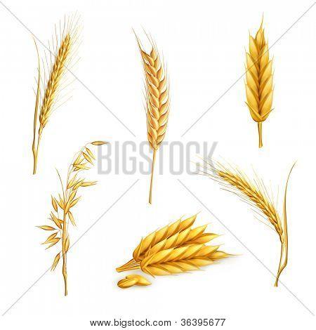 Wheat, vector set