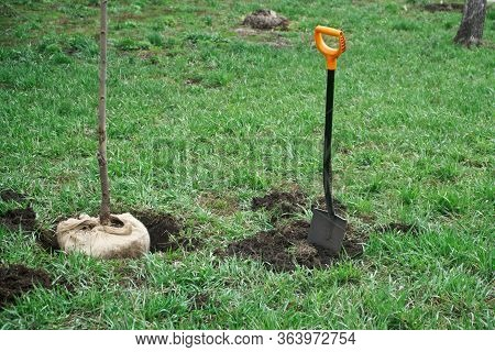 A Shovel Is Stuck In The Ground Next To A Tree Seedlings Prepared For Planting. Park Or Afforestatio