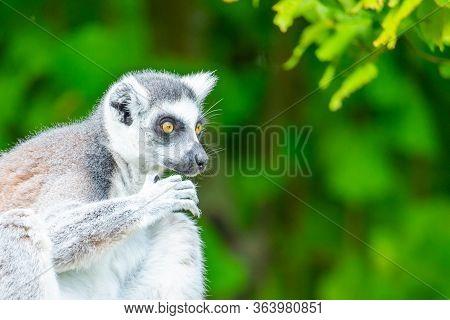 Ring-tailed Lemur - Endemic Animal Of Madagascar. Close-up Portrait
