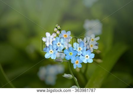 Wild Forget-me-not Flowers Selective Focus. Wild Plant Forgetmenot Growing In Filed Or Forest. Small