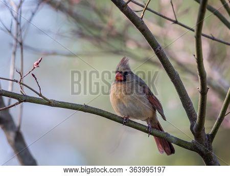 Northern Cardinal Female, Cardinalis Cardinalis, Perched On Plum Tree In Spring
