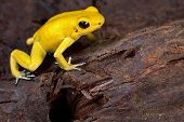 poison frog very poisonous animal with warning colors Phyllobates terribilis Colombia amazon rainforest toxic amphibian poster