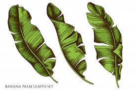 Vector Set Of Hand Drawn Colored Banana Palm Leaves Stock Illustration