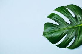 Monstera Plant Leaves Isolated On Blue Background.