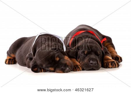 Sleeping Dobermann Puppies