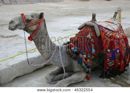 Lone camel at Giza Egypt