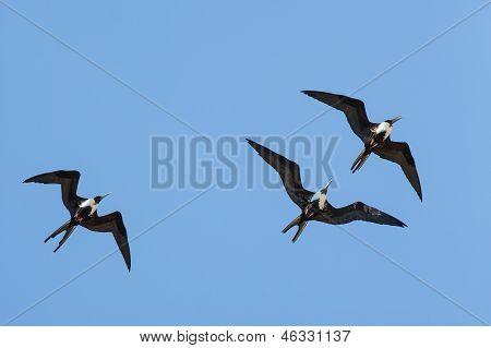 Magnificent Frigatebirds At Play